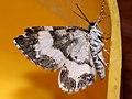 Spargania luctuata - White-banded carpet - Ларенция кипрейная (39149617360).jpg