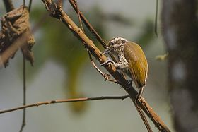 Speckled Piculet Pangolakha Wildlife Sanctuary East Sikkim India 11.04.2016.jpg