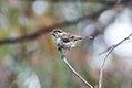 Speckled Warbler (Pyrrholaemus sagittatus) (8079654784).jpg