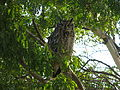Spotted Eagle Owl, Bubo africanus 9971.jpg