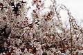 Spring-weeping-cherry-tree - West Virginia - ForestWander.jpg