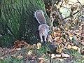 Squirrel at Hyde Park, London - panoramio.jpg