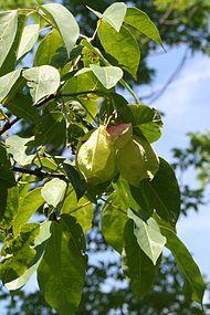 Staphylea trifolia SCA-5109.jpg