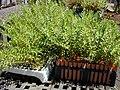 Starr-010330-0593-Olea europaea subsp cuspidata-seedlings in dibble tubes-Kahului-Maui (24532103995).jpg
