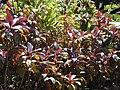 Starr-020630-0041-Cordyline fruticosa-habit in planting-Hui Noeau Makawao-Maui (24182497879).jpg