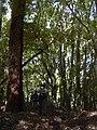 Starr-040601-0004-Eucalyptus sp-habit-Makawao Forest Reserve-Maui (24415912740).jpg