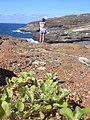 Starr-040711-0056-Alternanthera pungens-habit-Koko Head lookout-Oahu (24087125033).jpg