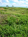 Starr-050223-4317-Coccinia grandis-habit-Popoia-Oahu (24712147586).jpg
