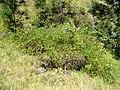 Starr-050817-7516-Rubus niveus-form b habit-Keahuaiwi Gulch-Maui (24507028410).jpg