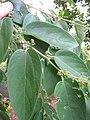 Starr-090623-1712-Trema orientalis-leaves and flower buds-Paani Mai Park Hana-Maui (24599584239).jpg