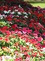 Starr-090714-2748-Impatiens walleriana-flowers mixed colors-Kapalua-Maui (24876349071).jpg
