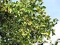 Starr-090818-4466-Pterocarpus indicus-leaves and seedpods-Kihei-Maui (24604886059).jpg