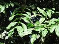 Starr-091104-0846-Lepisanthes rubiginosa-leaves-Kahanu Gardens NTBG Kaeleku Hana-Maui (24987703885).jpg