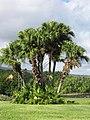Starr-091104-8813-Livistona chinensis-habit-Kahanu Gardens NTBG Kaeleku Hana-Maui (24961803126).jpg