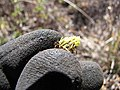 Starr-100630-8003-Bidens pilosa-habit with insect in flower head-Polipoli-Maui (25016504166).jpg
