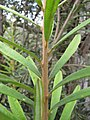 Starr-110609-6136-Banksia marginata-furry young stems-Shibuya Farm Kula-Maui (24978623172).jpg