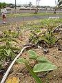 Starr-110616-6239-Ipomoea imperati-leaves-Keopuolani Park-Maui (25003934791).jpg