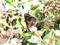 Starr-130320-3381-Pluchea carolinensis-flowers with Strymon bazochii smaller Lantana butterfly biocontrol-Nihoku Mokolea Pt Kilauea Pt NWR-Kauai (24582293363).jpg