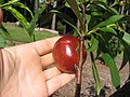 Starr-140614-4538-Prunus persica var persica-Sun Red nectarine fruit and leaves-Hawea Pl Olinda-Maui (25243705365).jpg