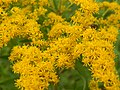Starr-140930-2067-Solidago canadensis-flowers-Keokea-Maui (25246799195).jpg