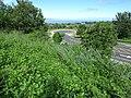 Starr-151019-0287-Cordia subcordata-habit-Pukalani-Maui (26009334290).jpg