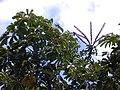 Starr 010330-0586 Schefflera actinophylla.jpg