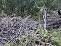 Starr 020911-0006 Asparagus asparagoides.jpg