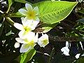 Starr 030702-0060 Plumeria rubra.jpg
