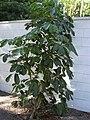 Starr 031108-2041 Schefflera actinophylla.jpg