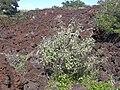 Starr 040129-0025 Achyranthes splendens var. splendens.jpg