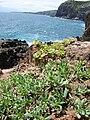Starr 050404-5419 Heliotropium curassavicum.jpg