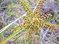 Starr 050423-6735 Cyperus hillebrandii.jpg