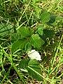 Starr 051123-5457 Rubus discolor.jpg