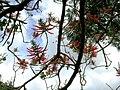 Starr 060121-5952 Erythrina berteroana.jpg