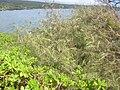Starr 060422-9334 Casuarina equisetifolia.jpg