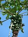 Starr 070215-4604 Carica papaya.jpg