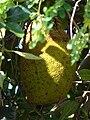 Starr 070403-6357 Artocarpus heterophyllus.jpg