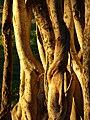 Starr 070727-7648 Ficus benghalensis.jpg