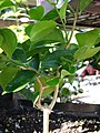 Starr 080103-1190 Jasminum simplicifolium.jpg
