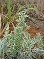 Starr 081230-0621 Artemisia australis.jpg