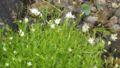 Stellaria nipponica01.jpg