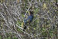 Stellers Jay (Cyanocitta Stelleri) (9360458424).jpg