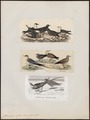 Stercorarius cephus - 1700-1880 - Print - Iconographia Zoologica - Special Collections University of Amsterdam - UBA01 IZ17900184.tif