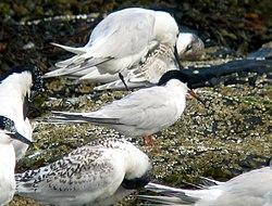 红燕鸥和桑氏燕鸥