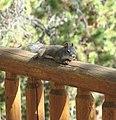 Steve the Squirrel, Grand Lake, CO 8-28-12 (8003990685).jpg