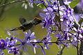 Strange little rooikoppie hummingbird on Petrea volubilis (9606862219).jpg