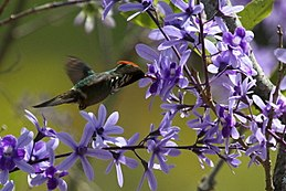 Strange little rooikoppie hummingbird on Petrea volubilis (9606862219).jpg