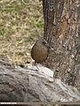 Streaked Laughingthrush (Trochalopteron lineatum) (15708526929).jpg