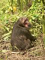 Stump tailed Macaque P1130751 21.jpg