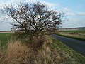 Stumpy Oak Near Alconbury - geograph.org.uk - 1094524.jpg